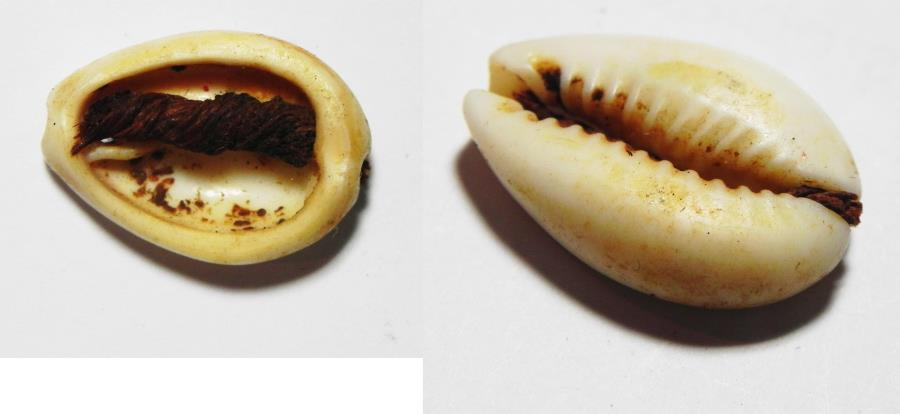 Ancient Coins - ANCIENT EGYPT, NICE SEA SHELL BEAD WITH ORIGINAL STRING. 1300 B.C . NEW KINGDOM