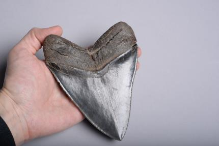 Ancient Coins - Huge Pristine Megalodon Tooth